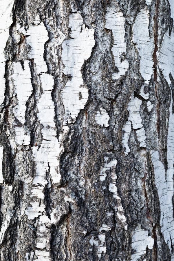 Corteccia di betulla fotografie stock