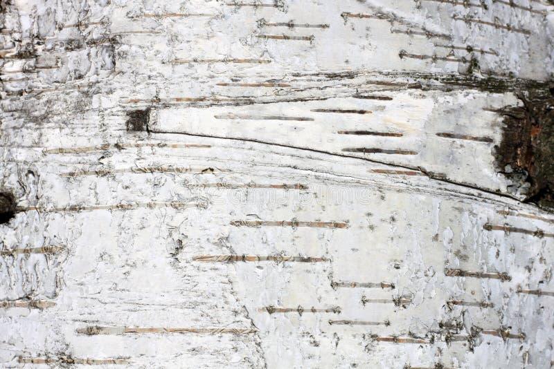 Corteccia di betulla con struttura naturale della betulla fotografia stock libera da diritti