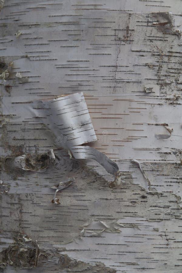 Corteccia di betulla della sbucciatura fotografia stock