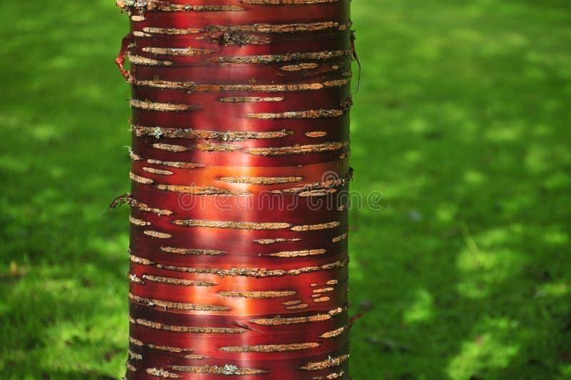 Corteccia di betulla rossa contro erba verde immagini stock