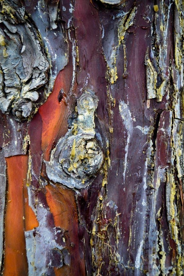 Corteccia di legno astratta di struttura, albero di cipresso Pianta, legna da ardere fotografie stock libere da diritti