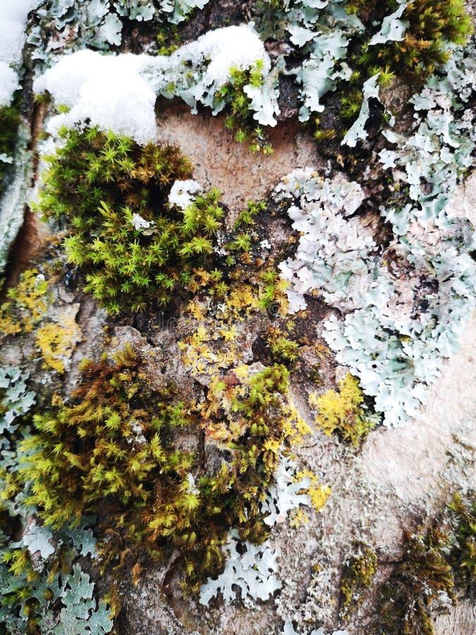Corteccia di legno nell'inverno immagini stock libere da diritti