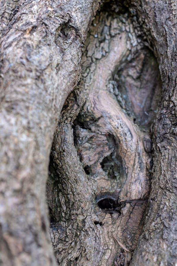 Corteccia di Olive Tree antica immagini stock libere da diritti