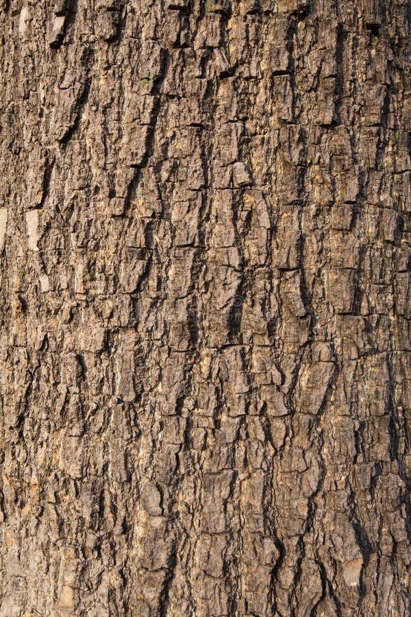 Corteccia di olivo fotografia stock libera da diritti