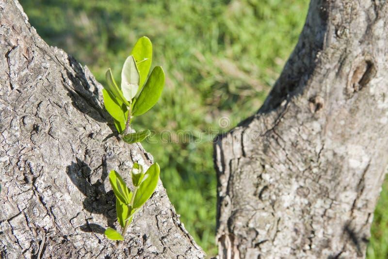 Corteccia di olivo con il germoglio fotografia stock for Acquisto piante olivo