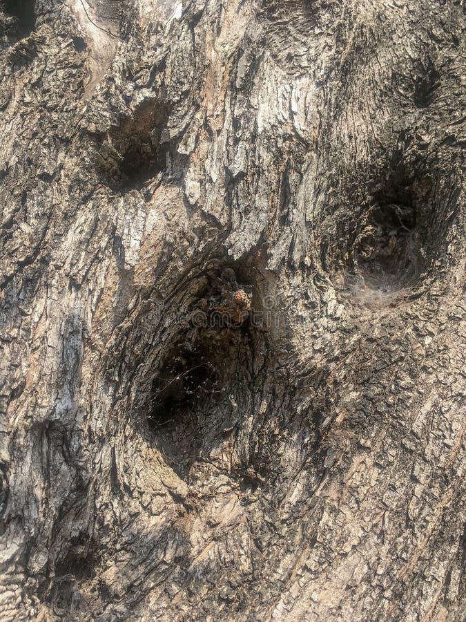Corteccia di olivo in primo piano fotografie stock libere da diritti