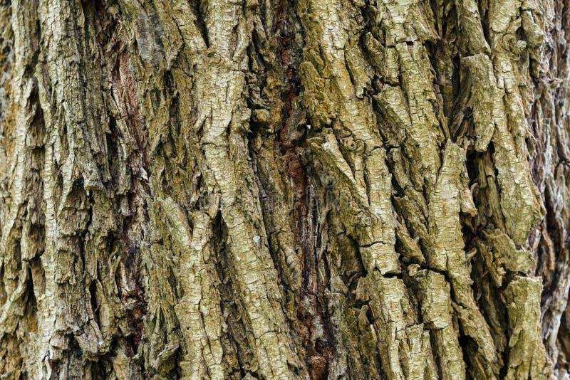 Corteccia di un albero Struttura di legno Fondo di legno immagine stock libera da diritti