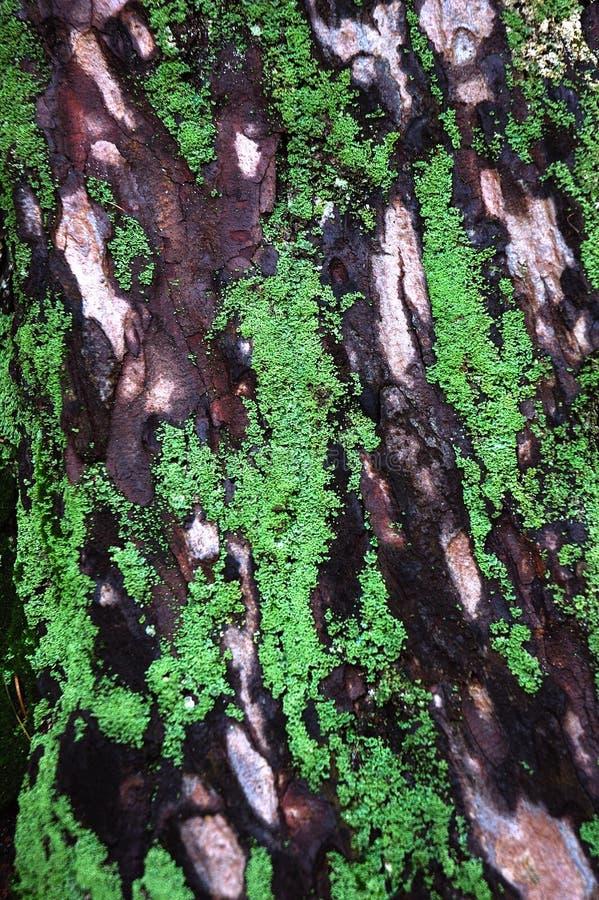 Corteccia di vecchio albero con i licheni ed il foglio fotografie stock libere da diritti