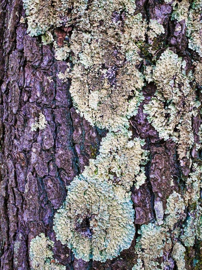 Corteccia e lichene di un albero fotografie stock