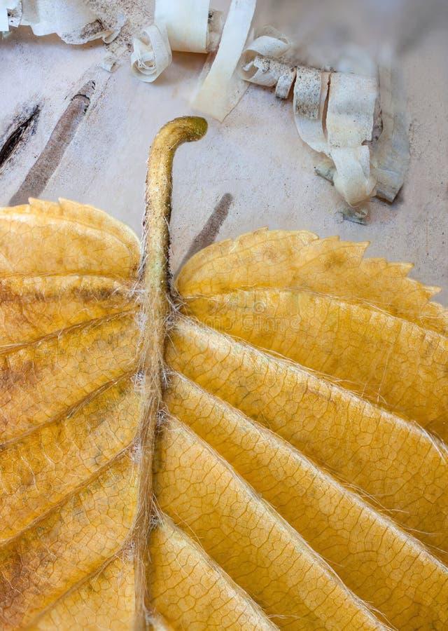 Corteccia ed autunno di betulla immagine stock libera da diritti