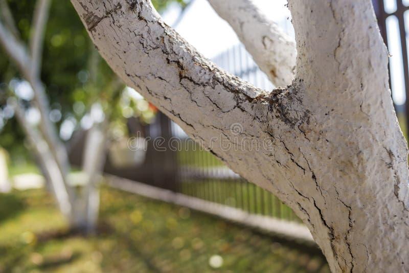 Corteccia imbiancata degli alberi da frutto che crescono nel giardino soleggiato del frutteto sul fondo verde vago dello spazio d fotografia stock libera da diritti