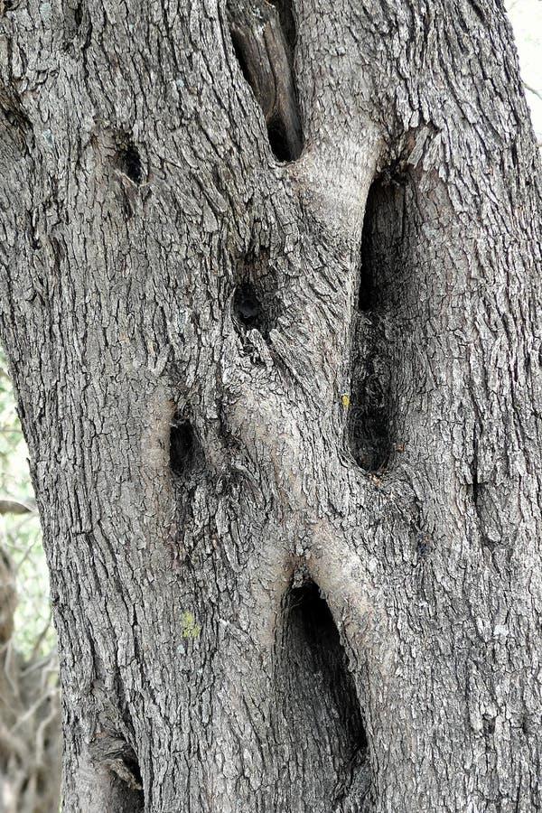 Corteccia incrinata di di olivo fotografie stock