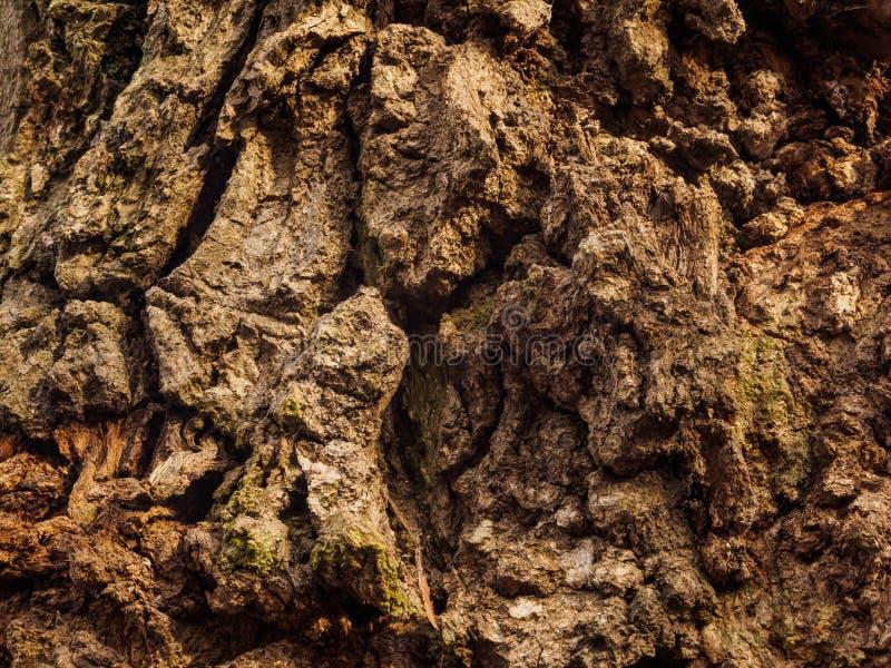 Corteccia irregolare di vecchia quercia fotografia stock libera da diritti