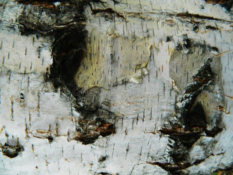 Corteccia marrone e grigia spessa di bianco, della betulla bianca immagini stock libere da diritti