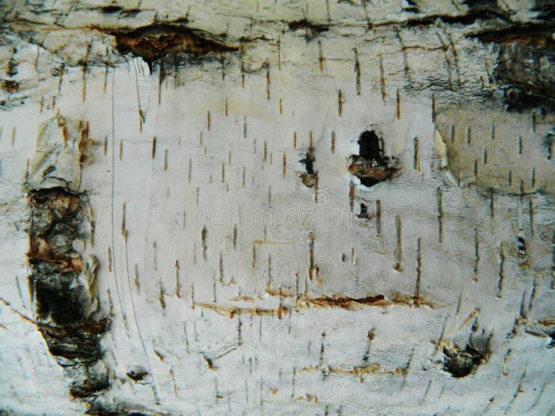 Corteccia marrone e grigia spessa di bianco, della betulla bianca fotografia stock