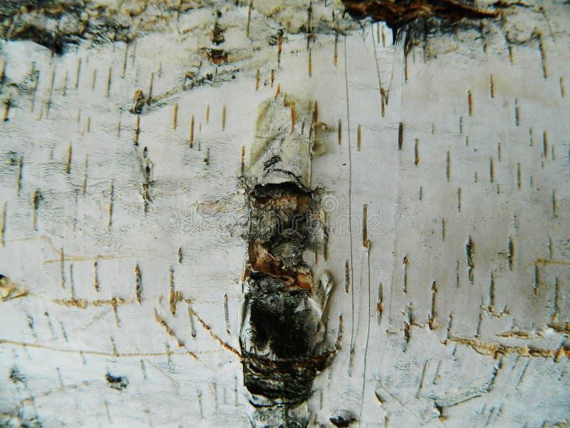 Corteccia marrone e grigia spessa di bianco, della betulla bianca fotografia stock libera da diritti