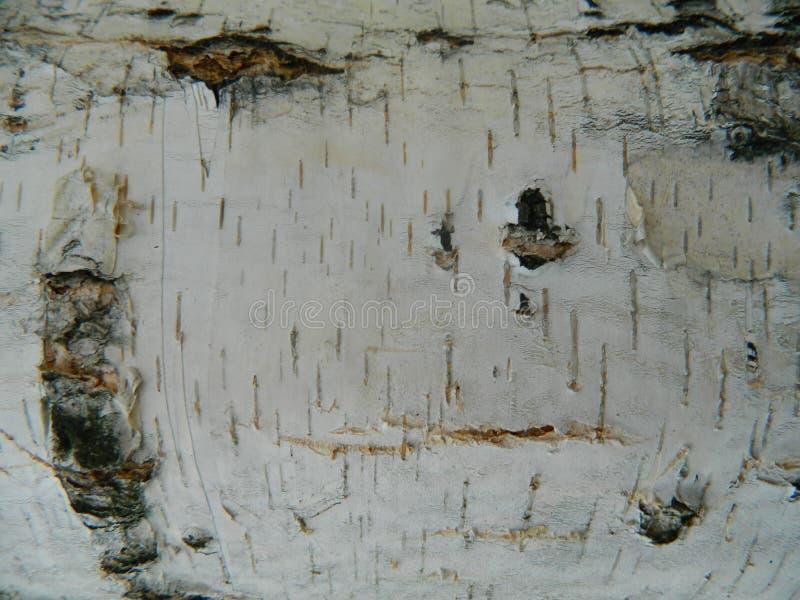 Corteccia marrone e grigia spessa di bianco, della betulla bianca fotografie stock libere da diritti