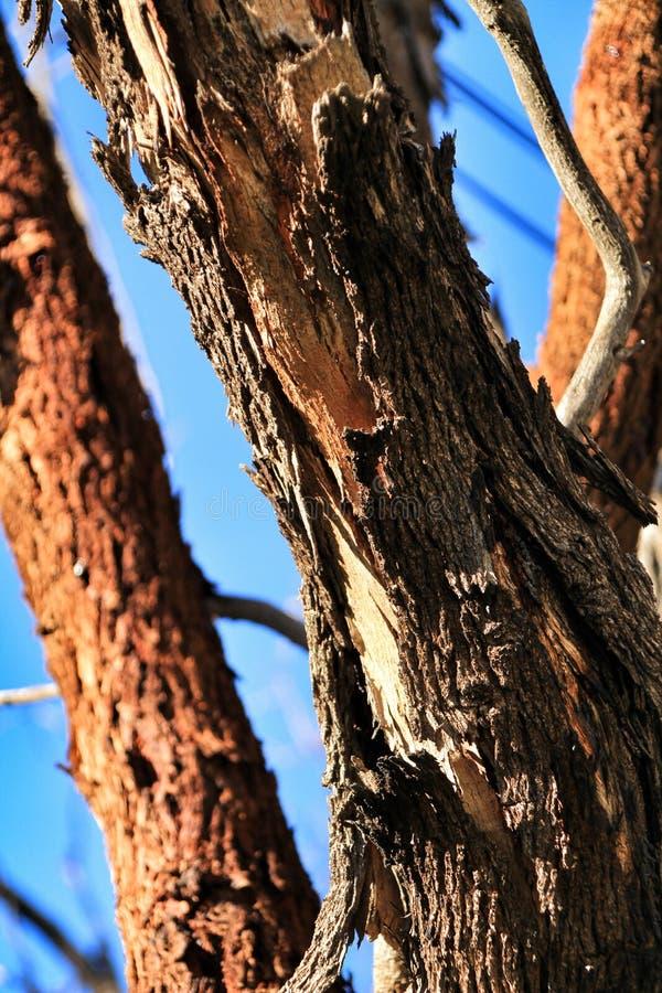Corteccia nociva e malata di struttura dell'albero di eucalyptus nella montagna fotografia stock libera da diritti