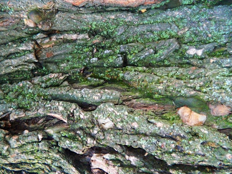 Corteccia ruvida grigia di vecchia castagna fotografia stock