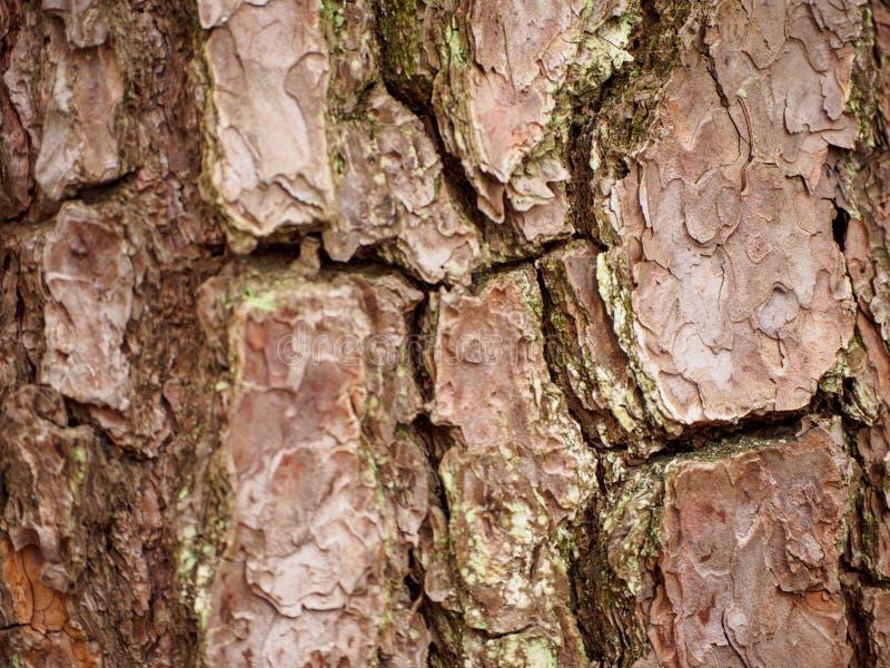 Corteccia stratificata Cracked dell'albero di Sakura, Nagoya, Giappone immagine stock
