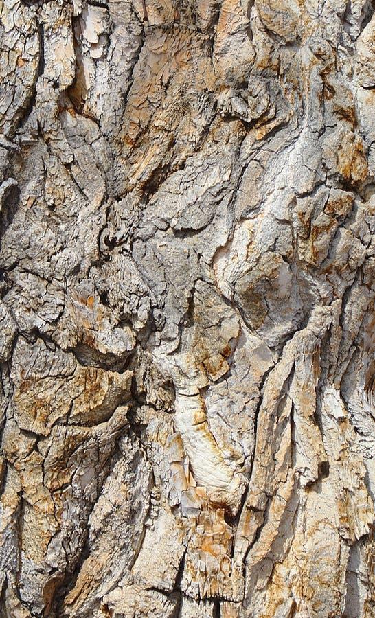 Corteccia su un albero antico del pioppo fotografie stock