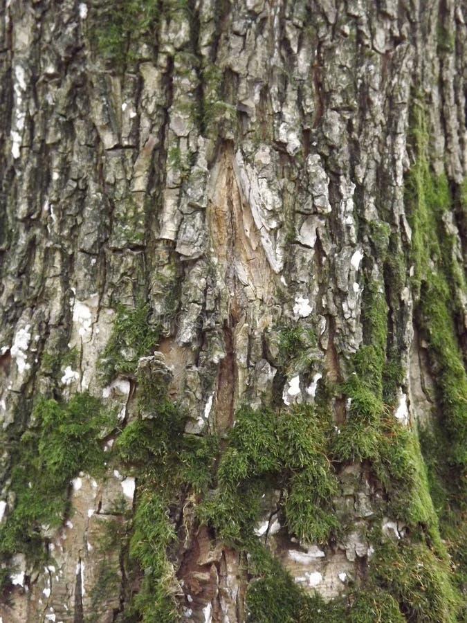 Corteccia sull'albero fotografie stock libere da diritti