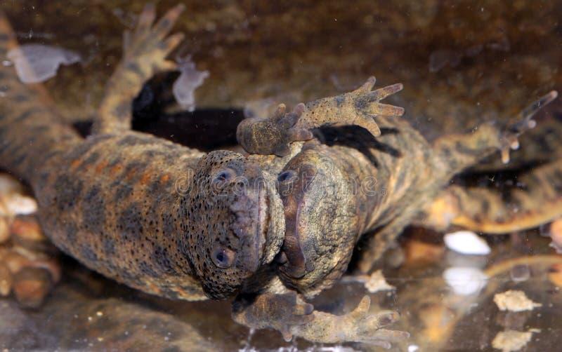 Cortejo del newt ibérico foto de archivo