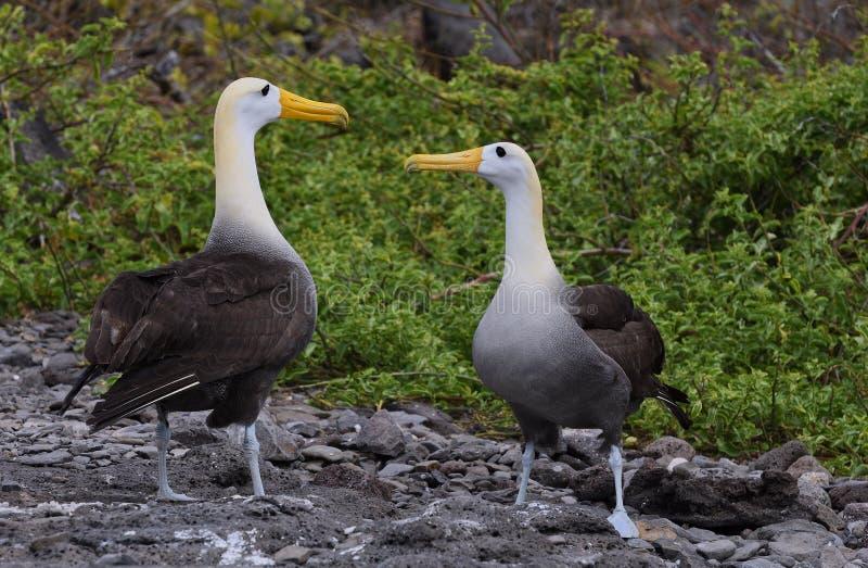 Cortejo las Islas Galápagos del albatros imagen de archivo