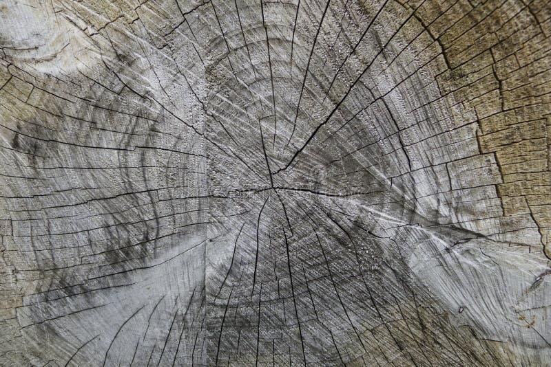 Cortes del tronco de árbol que muestran los anillos de crecimiento fotos de archivo libres de regalías