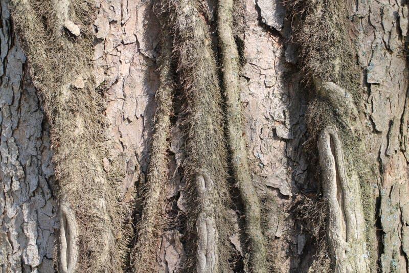 Cortex d'arbre dans le jardin de château par le château de Budatin, région d'ilina de ½ de Å photographie stock libre de droits