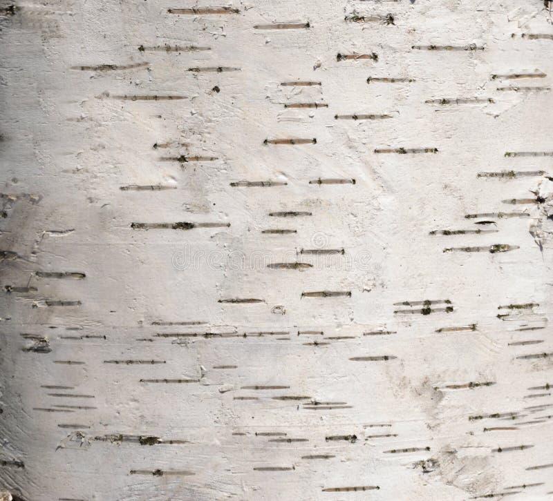 Cortex drzewa brzoza obrazy stock