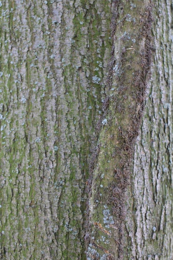 Cortex drzewo w kasztelu ogródzie Budatin kasztelem, Å ½ ilina region obrazy royalty free