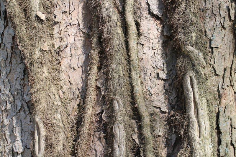 Cortex drzewo w kasztelu ogródzie Budatin kasztelem, Å ½ ilina region zdjęcia royalty free