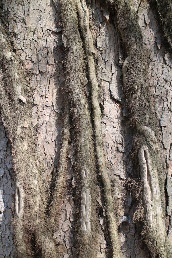 Cortex of tree in castle garden by Budatin castle, Žilina region royalty free stock image