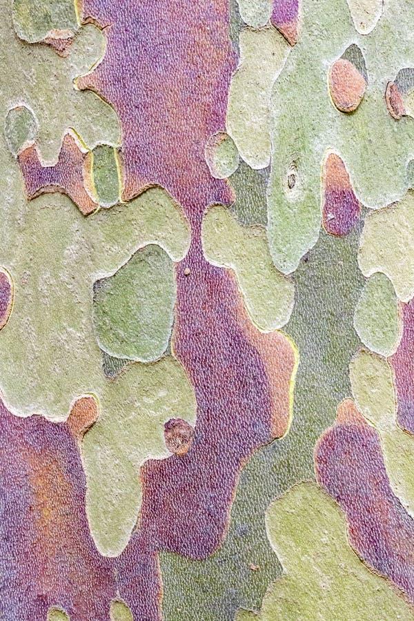 Corteza abigarrada árbol del Platanus, fondo de la textura imagenes de archivo