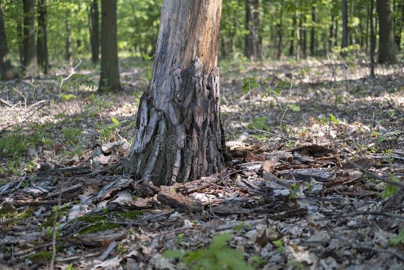 Corteza caida del árbol muerto atacada por el escarabajo de corteza fotografía de archivo