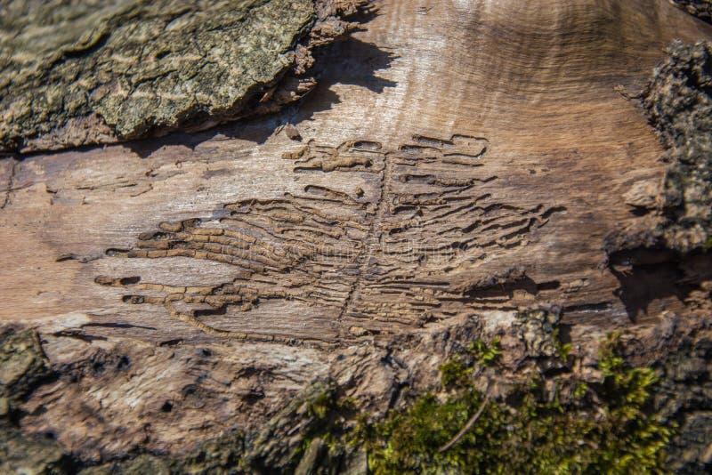 Corteza comida por los gusanos de un árbol viejo en un primer fotos de archivo libres de regalías
