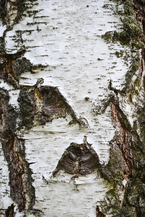 Corteza de árbol de abedul, primer, textura y fondo foto de archivo libre de regalías