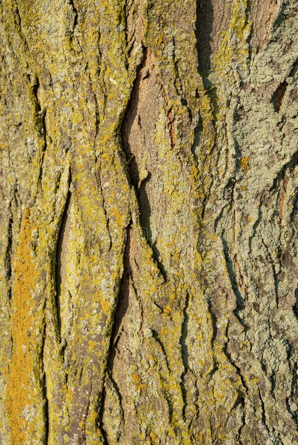 Corteza de árbol con el musgo amarillo y verde del oro fotos de archivo