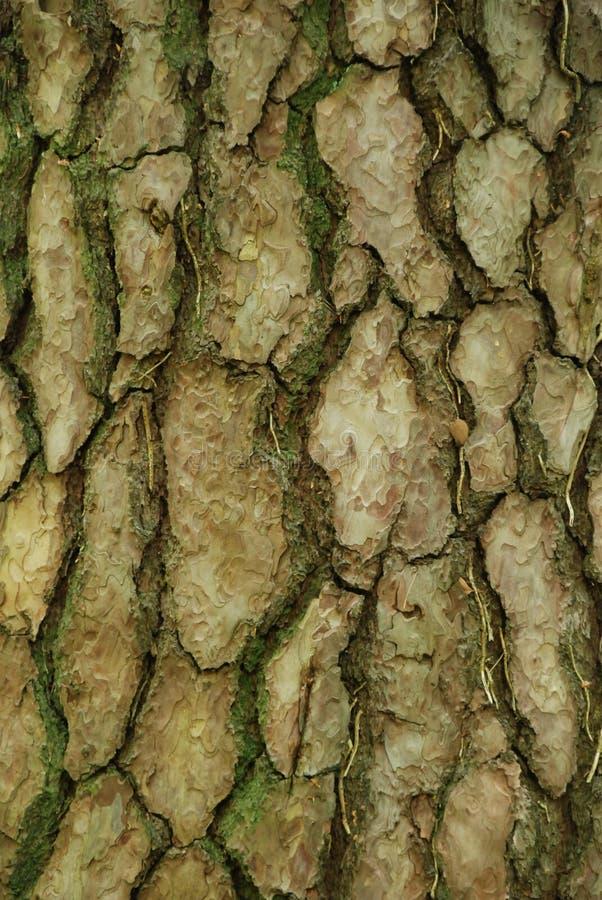 Corteza de árbol cubierta de musgo del árbol de pino imagen de archivo