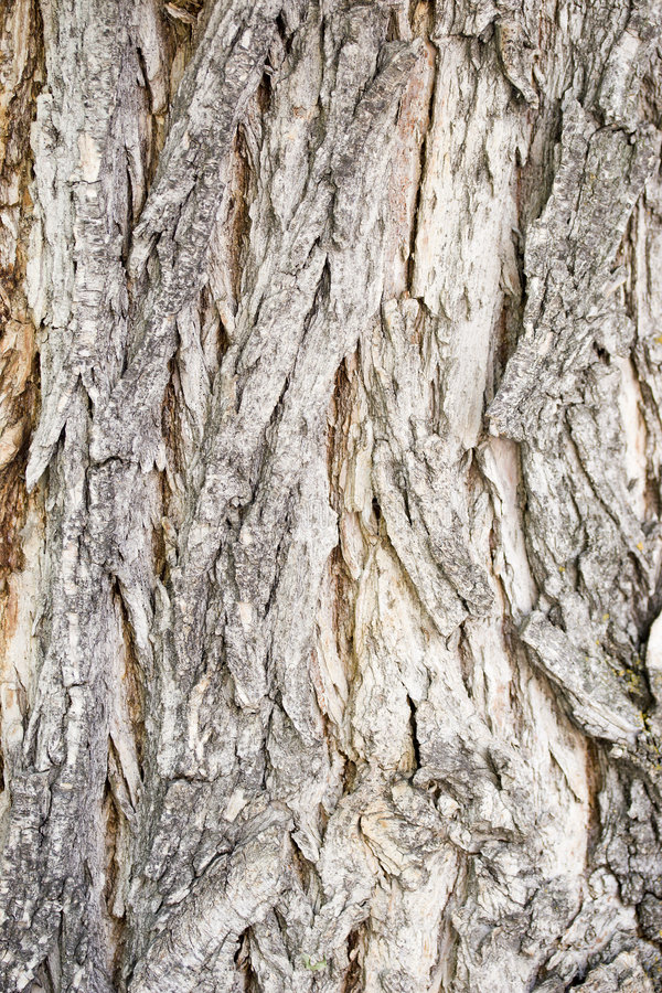 Corteza de árbol de Catalpa imágenes de archivo libres de regalías