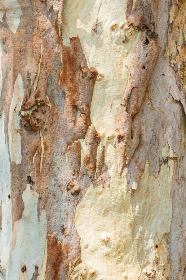 Corteza de árbol de eucalipto imagen de archivo libre de regalías