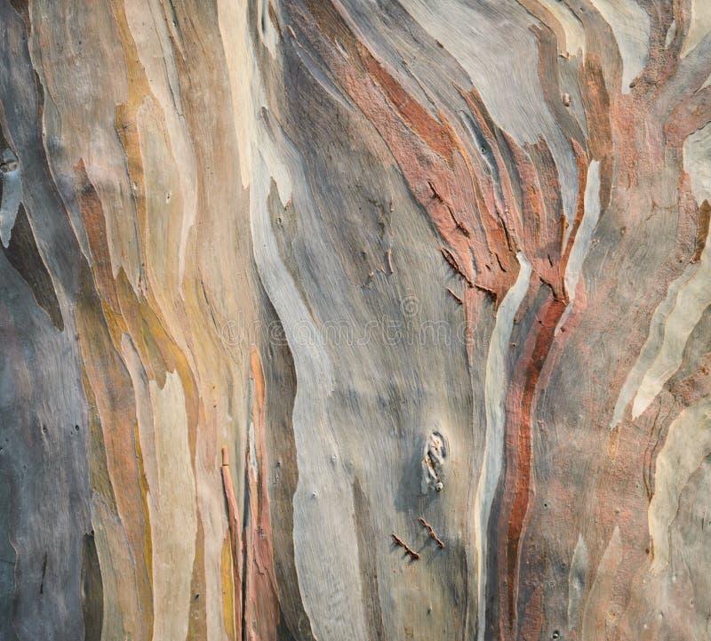 Corteza de árbol de eucalipto del arco iris imágenes de archivo libres de regalías