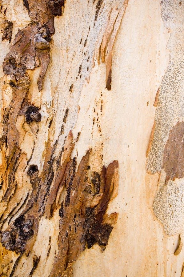 Corteza de árbol de goma fotografía de archivo