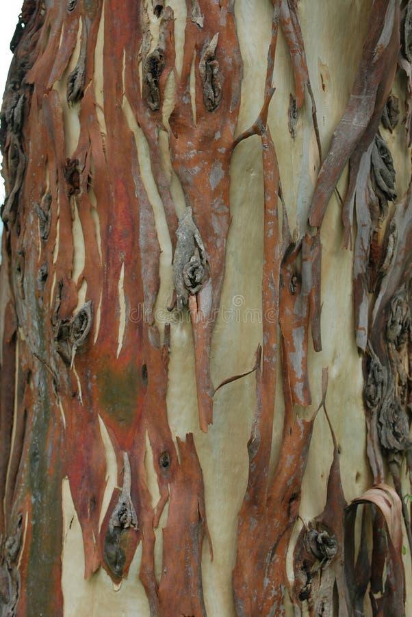 Corteza de árbol de goma fotos de archivo