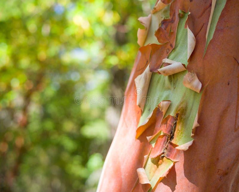 Corteza de árbol del Arbutus imagen de archivo libre de regalías