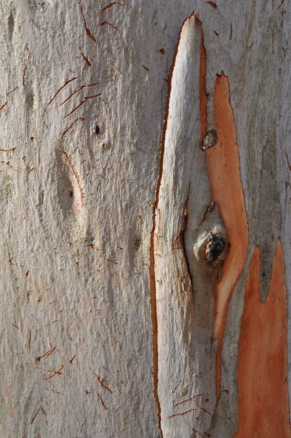 Corteza de árbol del eucalipto imagenes de archivo