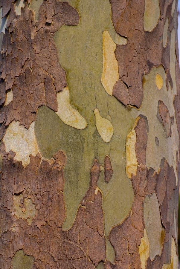 Corteza de árbol del sicómoro foto de archivo