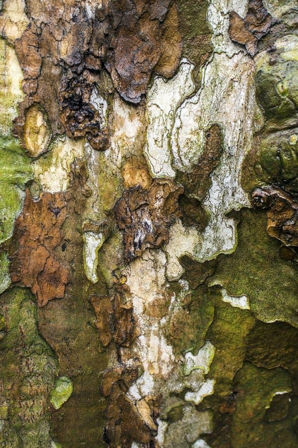 Corteza de árbol del sicómoro americano fotos de archivo libres de regalías