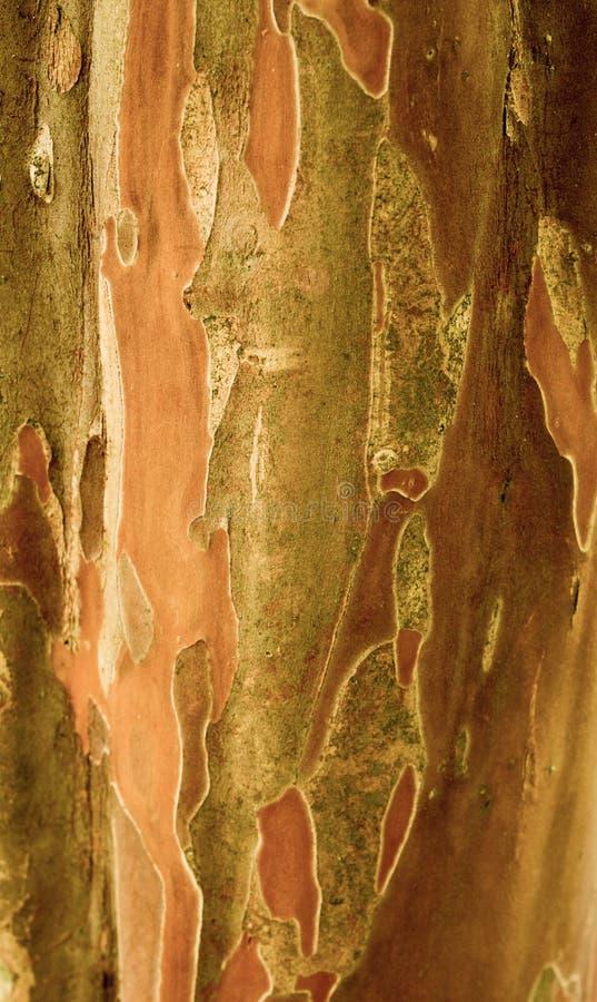 Corteza de árbol de goma imagen de archivo libre de regalías